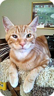 Domestic Shorthair Cat for adoption in Hinesville, Georgia - Pecan
