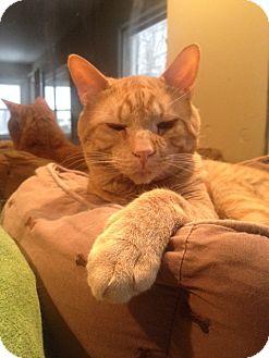Domestic Shorthair Cat for adoption in Long Beach, New York - Santorini