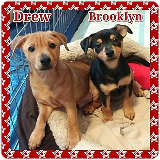 Dachshund/Chihuahua Mix Puppy for adoption in Fort Worth, Texas - DREW AND BROOKLYN