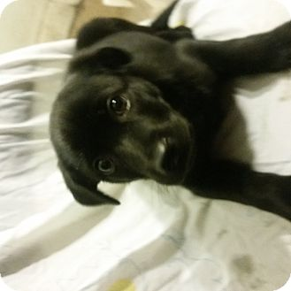 Labrador Retriever/Border Collie Mix Puppy for adoption in Detroit, Michigan - Enzo