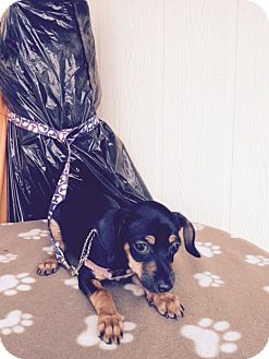 Miniature Pinscher Mix Puppy for adoption in Elk Grove, California - SHANIA