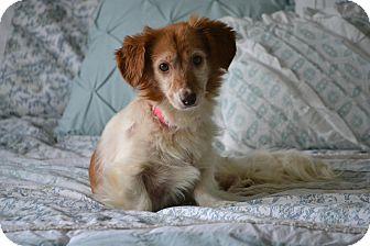 Dachshund/Sheltie, Shetland Sheepdog Mix Dog for adoption in Bedminster, New Jersey - Aspen
