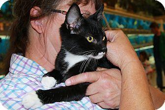 Domestic Shorthair Kitten for adoption in Rochester, Minnesota - Monty