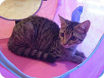 Domestic Shorthair Kitten for adoption in Knoxville, Tennessee - Nicodemus