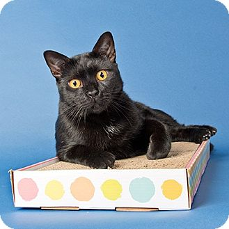 Domestic Shorthair Cat for adoption in Wilmington, Delaware - Red Fox