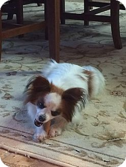 Papillon Mix Dog for adoption in Windham, New Hampshire - PNut (ETAA)