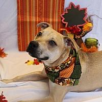 Terrier (Unknown Type, Medium)/Terrier (Unknown Type, Medium) Mix Dog for adoption in Metairie, Louisiana - Captain Kirkeltin