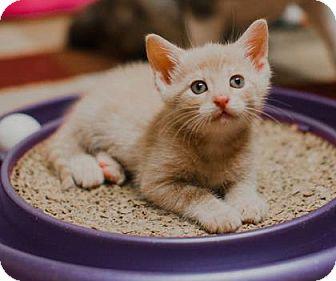 Domestic Shorthair Kitten for adoption in Wichita, Kansas - Garth