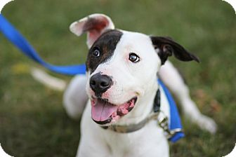 American Pit Bull Terrier Mix Dog for adoption in Midland, Michigan - Mya - $75!