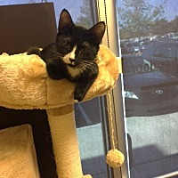 Adopt A Pet :: Mogli (CL) - Alpharetta, GA