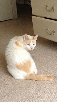 Domestic Mediumhair Cat for adoption in Manassas, Virginia - Sugar & Tigger