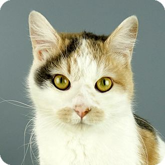 Domestic Shorthair Cat for adoption in Columbia, Illinois - Apache