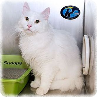 Turkish Angora Cat for adoption in Howell, Michigan - Snoopy