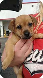Chihuahua/Yorkie, Yorkshire Terrier Mix Puppy for adoption in Chantilly, Virginia - Yorkie Lauren