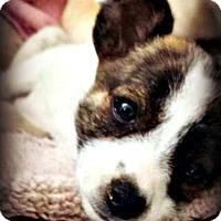 Adopt A Pet :: Brooklyn - Tijeras, NM