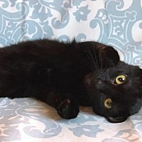 Adopt A Pet :: ONYX - Lawton, OK