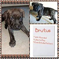 Adopt A Pet :: Brutus - Oviedo, FL