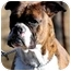 "Photo 1 - Boxer Dog for adoption in Pawling, New York - ""JOE BOXER"""