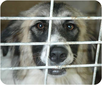 Collie Mix Dog for adoption in Ripley, Tennessee - Chloe
