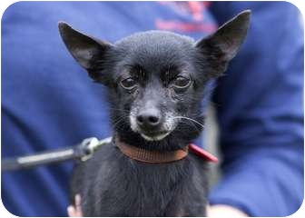 Chihuahua Mix Dog for adoption in Ile-Perrot, Quebec - Junebug