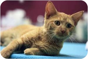 Domestic Shorthair Kitten for adoption in Chicago, Illinois - Lake
