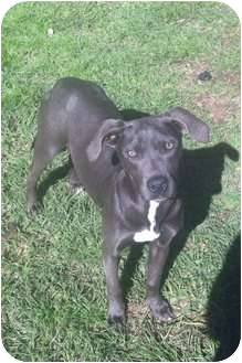 American Pit Bull Terrier Mix Dog for adoption in Geismar, Louisiana - Silver