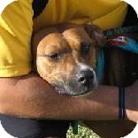 Boxer Mix Dog for adoption in Preston, Connecticut - Olive
