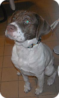 English Springer Spaniel Mix Puppy for adoption in Jackson, Michigan - Petunia