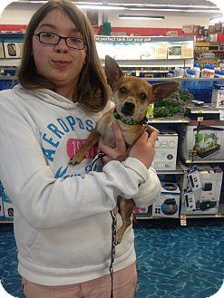 Chihuahua/Dachshund Mix Dog for adoption in Ogden, Utah - Amber