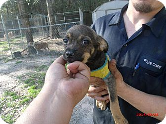 Chihuahua Puppy for adoption in Jesup, Georgia - Little Bit