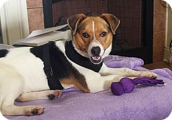 Beagle/Jack Russell Terrier Mix Dog for adoption in White Plains, New York - Frankie