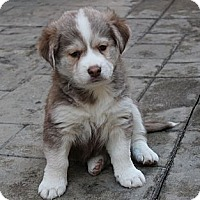 Adopt A Pet :: Josie - La Habra Heights, CA