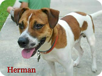 Hound (Unknown Type) Mix Dog for adoption in Ocean Springs, Mississippi - Herman