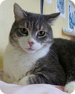 Domestic Shorthair Cat for adoption in Williamston, Michigan - Fantine - ADOPTED 12.22.14