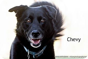 Border Collie/Retriever (Unknown Type) Mix Dog for adoption in Lisbon, Iowa - Chevy