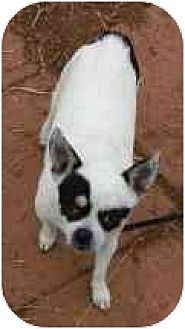 Chihuahua Dog for adoption in Williston Park, New York - Bandit