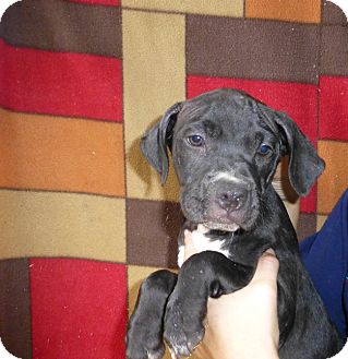 Staffordshire Bull Terrier Mix Puppy for adoption in Oviedo, Florida - King