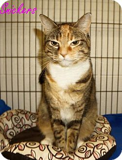 Domestic Shorthair Cat for adoption in Lexington, North Carolina - SNICKERS