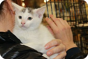 Domestic Shorthair Kitten for adoption in Rochester, Minnesota - Gracie