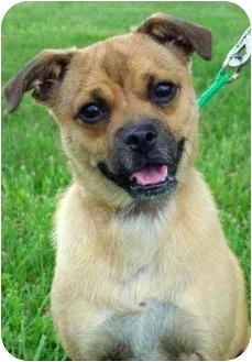Pug Mix Dog for adoption in Overland Park, Kansas - Sammi