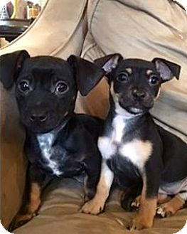 Chihuahua/Dachshund Mix Puppy for adoption in Chicago, Illinois - Rusty