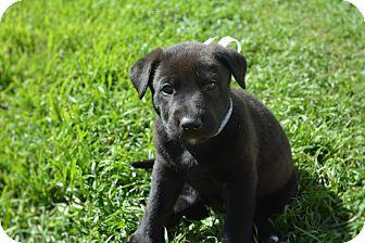 German Shepherd Dog Mix Puppy for adoption in Wichita Falls, Texas - Ranger