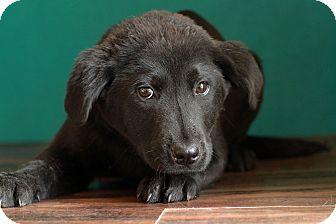 Labrador Retriever Mix Puppy for adoption in Waldorf, Maryland - Bobby