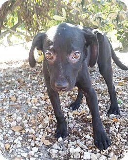 Labrador Retriever Mix Puppy for adoption in Boca Raton, Florida - Wilma