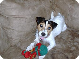 Jack Russell Terrier/Terrier (Unknown Type, Medium) Mix Dog for adoption in DeLand, Florida - Benji