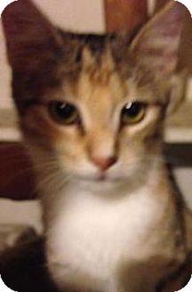 Domestic Shorthair Kitten for adoption in Franklin, West Virginia - Peachy