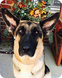 German Shepherd Dog Mix Dog for adoption in Walnut Creek, California - Malibu