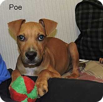 Boxer/Pit Bull Terrier Mix Puppy for adoption in Slidell, Louisiana - Poe