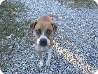 Boxer Mix Dog for adoption in Greensboro, North Carolina - Claire