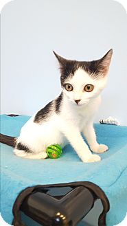 Domestic Shorthair Kitten for adoption in Circleville, Ohio - Sabrina